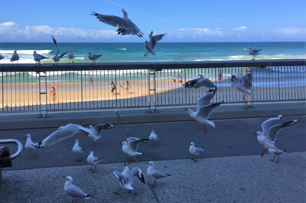Seagulls, Gold Coast.
