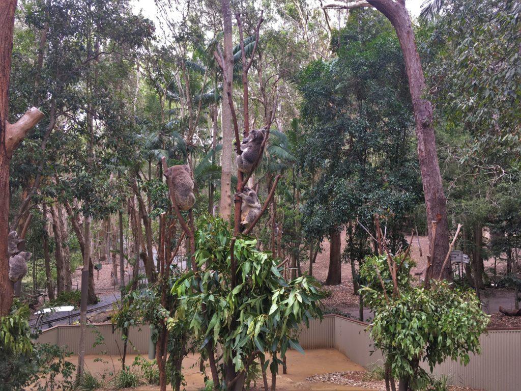 Koaly v Currumbin Wildlife Sanctuary, Gold Coast, 2020.