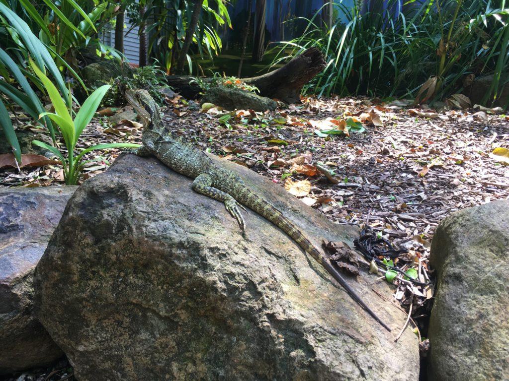 Leguán v Currumbin Wildlife Sanctuary, Gold Coast, 2020.