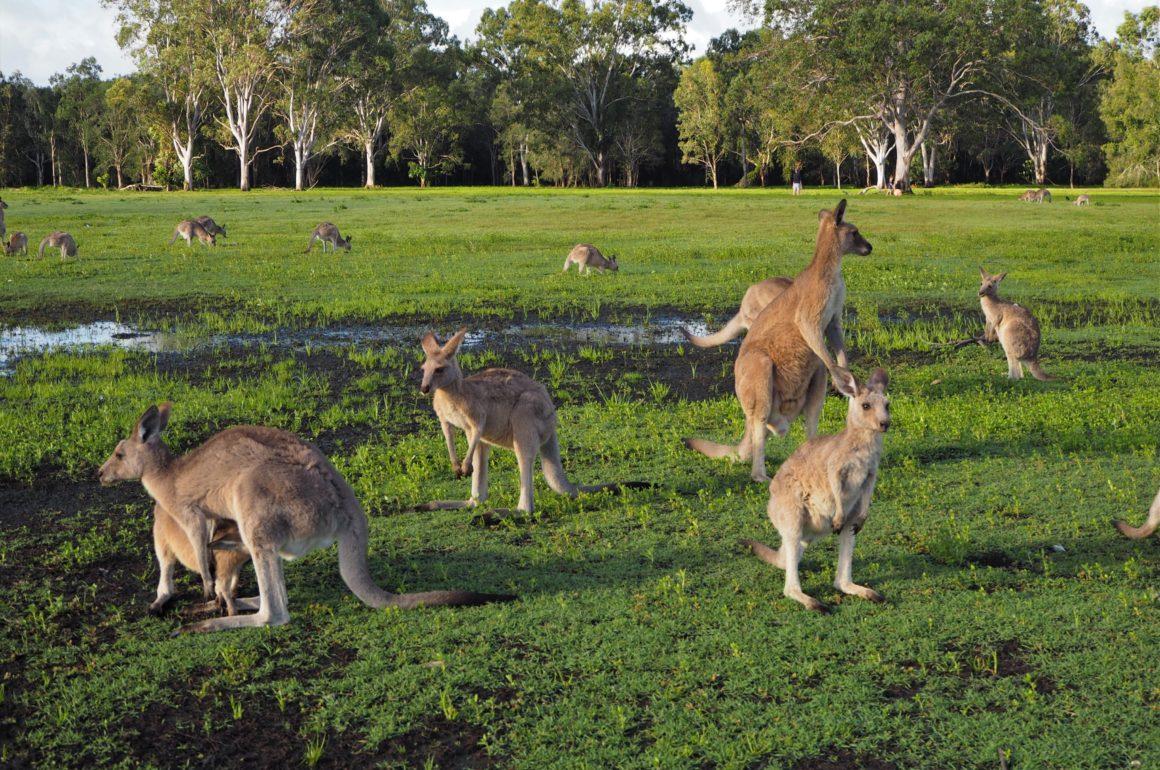 Klokani v chráněné oblasti Coombabah Lakelands