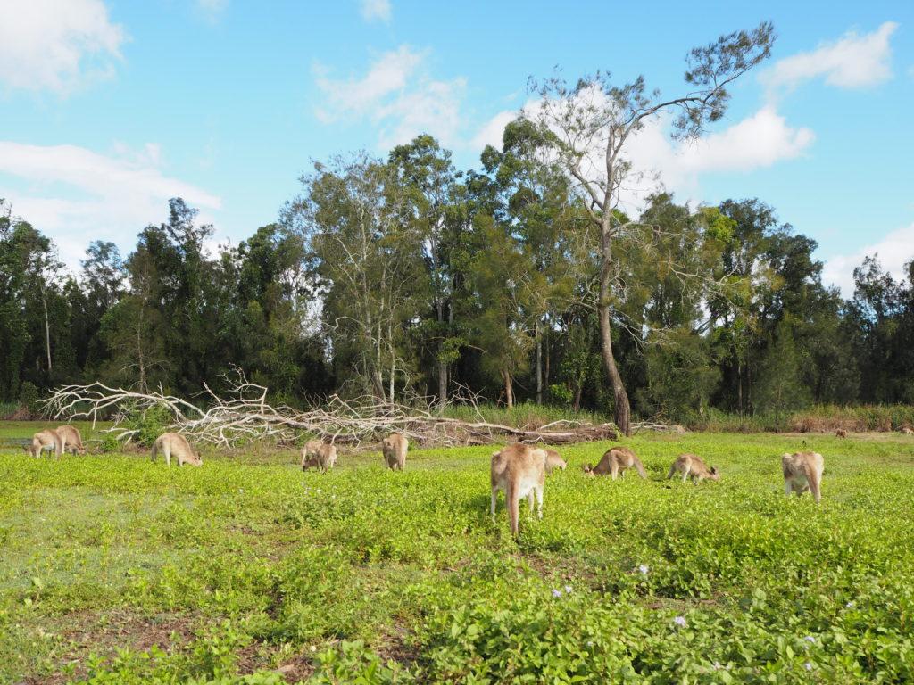 Klokani v chráněné oblasti Coombabah Lakelands, Gold Coast, 2020.