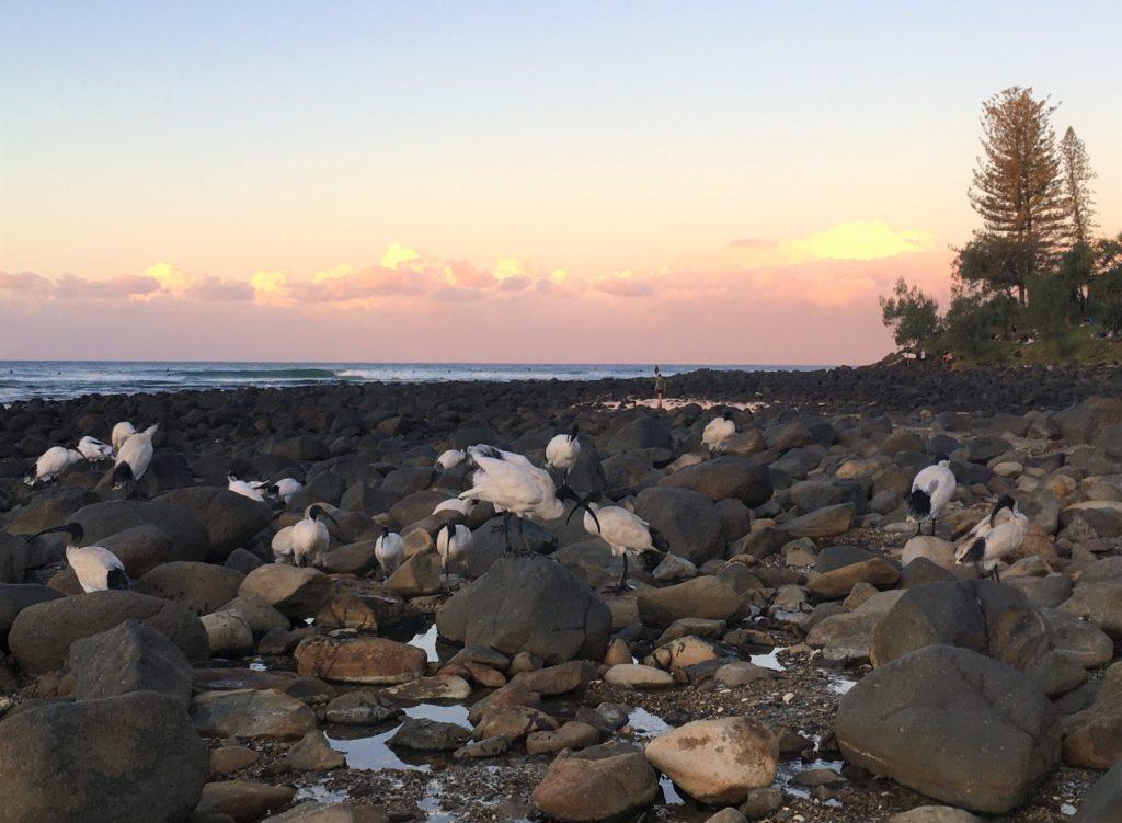 Ibisové na Burleigh Heads, Gold Coast, 2020