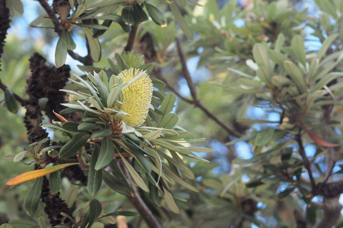 Australská flóra